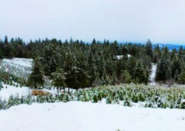 Holly Lane Tree Farm
